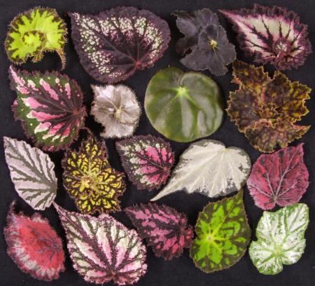 begonia2